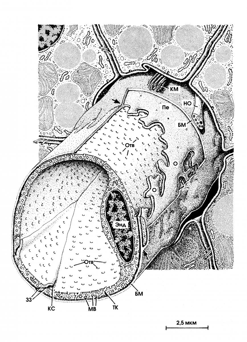 Капилляр Синусоидный