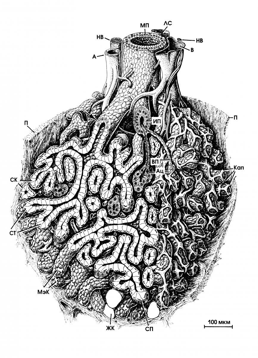 Железа Подъязычная