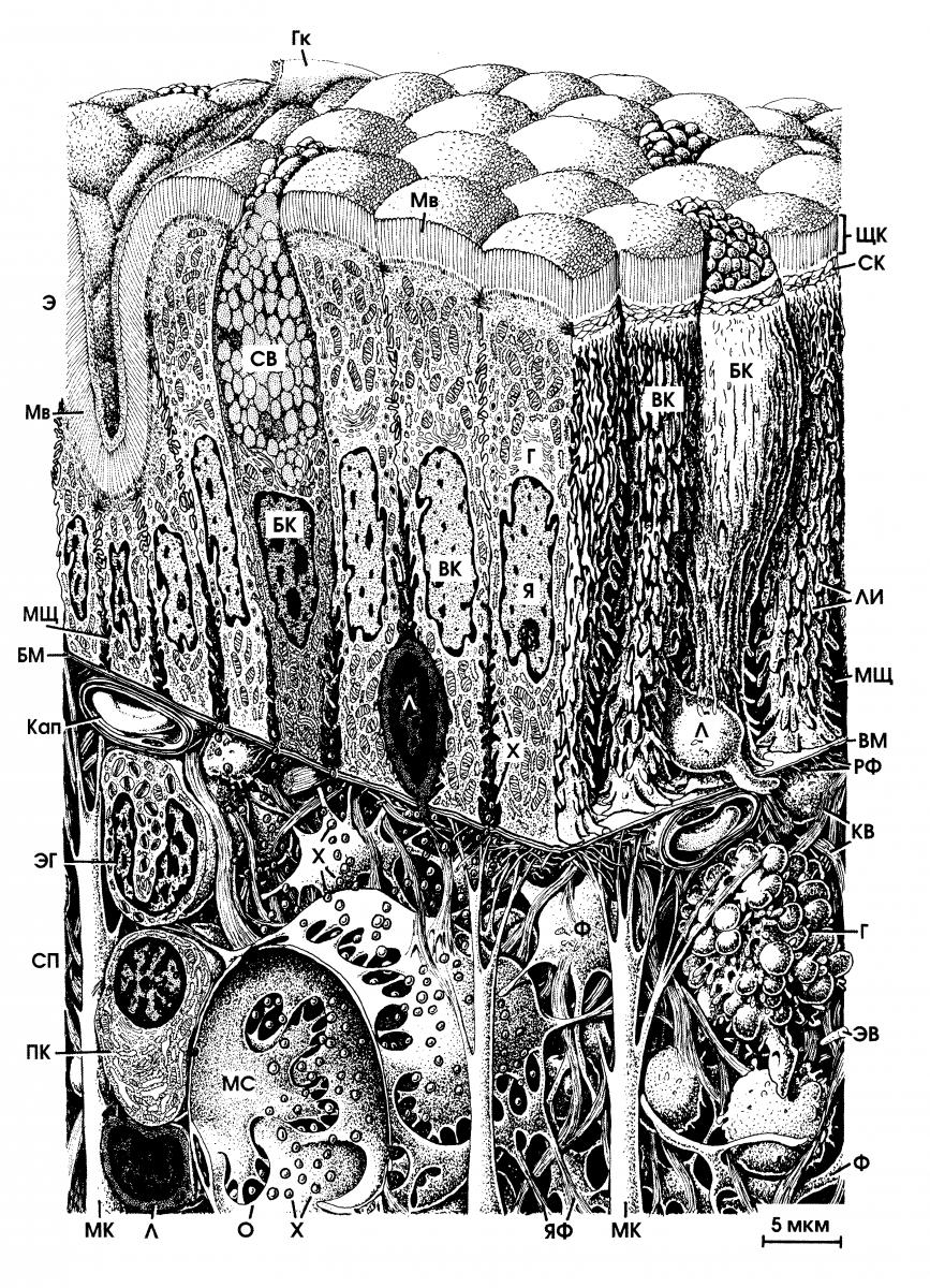 Клетка Бокаловидная (Эпителиальная)