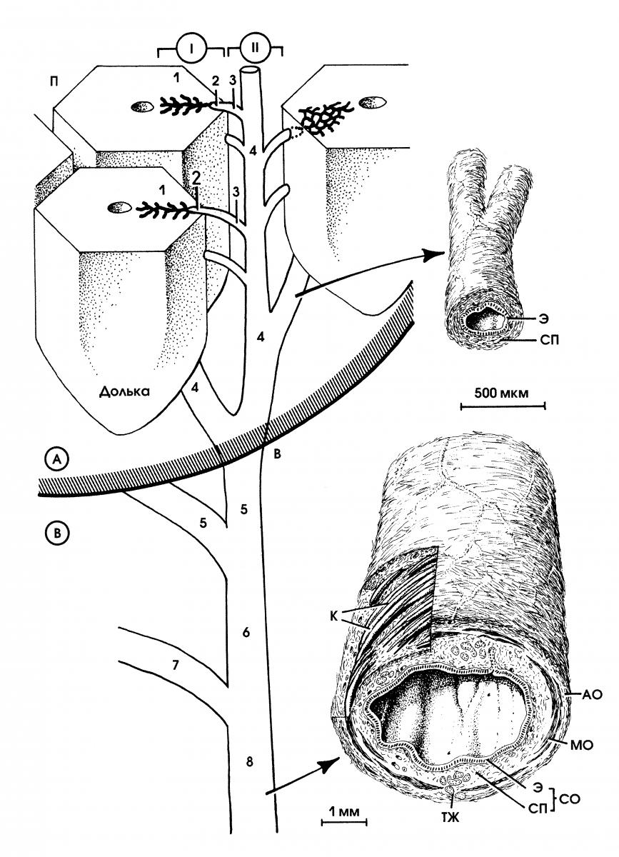 Клетки Купфера