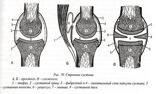 взаимосвязь формы суставов их функциями