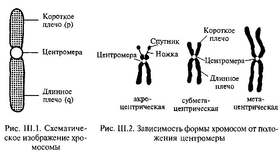 Хромосома фото