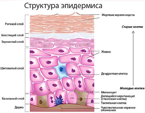 Строение и функции кожи: Косметология