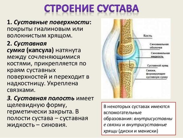 Развитие и строение суставов как лечить суставы ног народными средствами