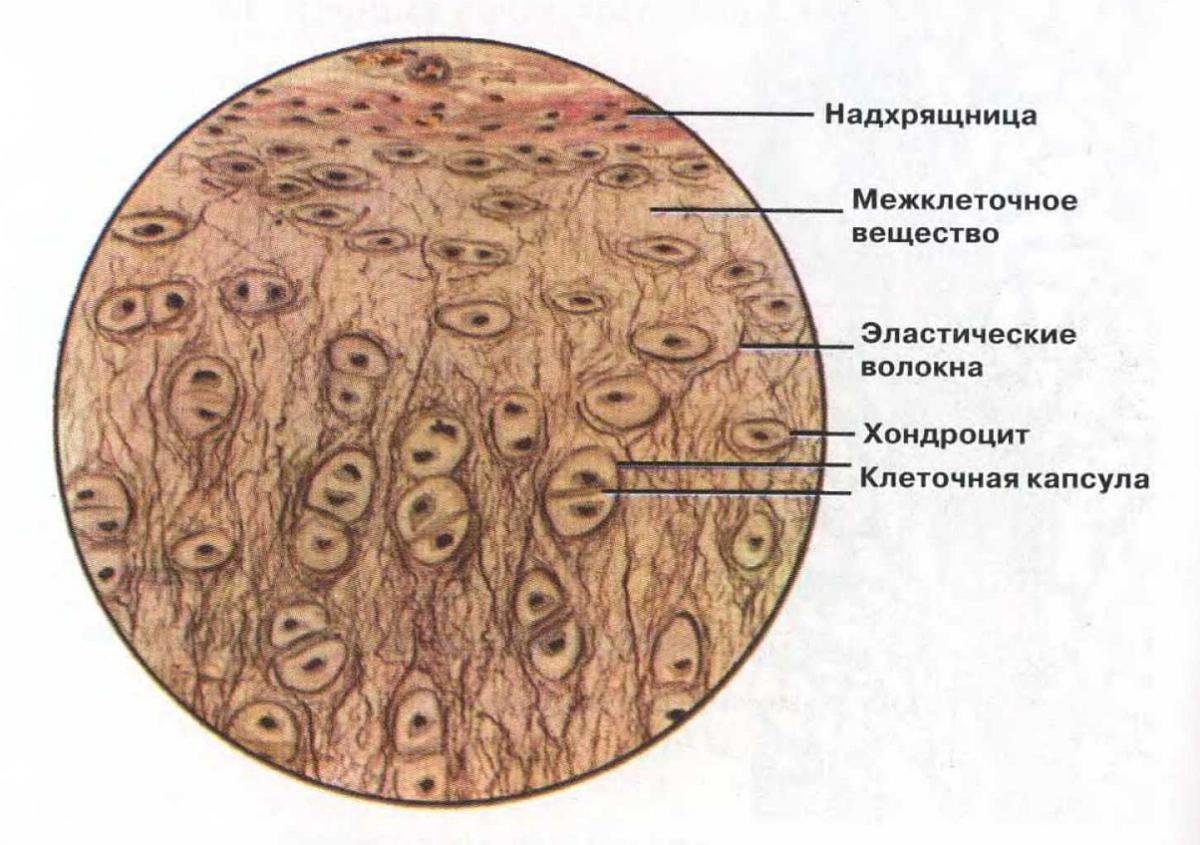 Эупластический фото