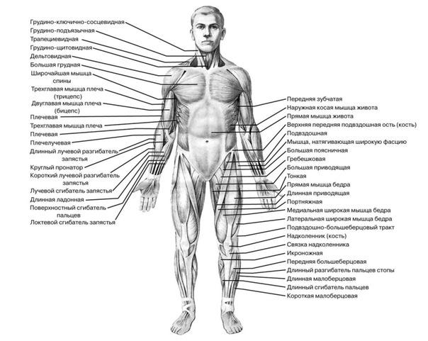 Мышцы: вид спереди
