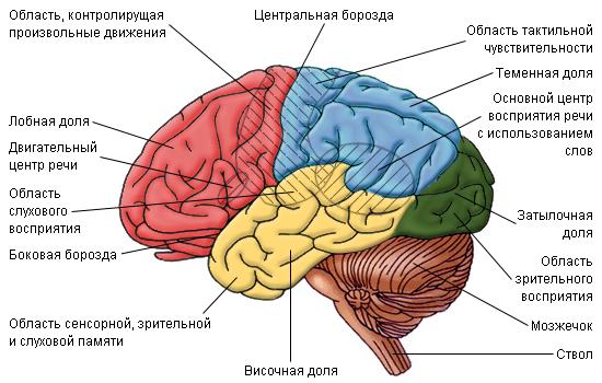 правое и левое полушарие таблица