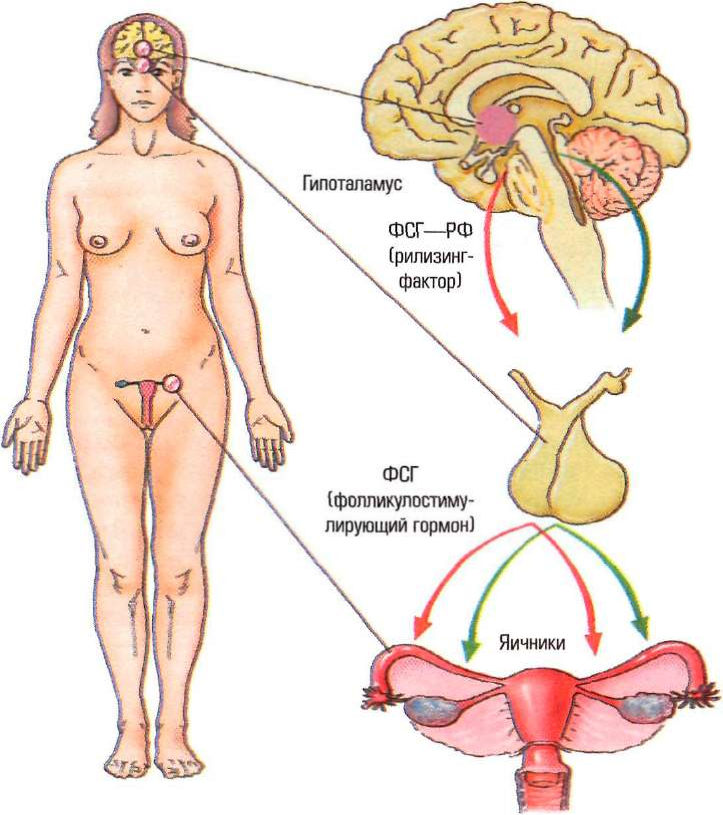 Цикл Овариально-Менструальный фото