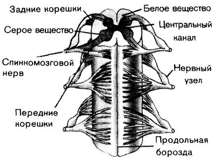 Схема строения спинного мозга