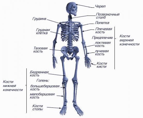 скелет собаки фото с описанием костей