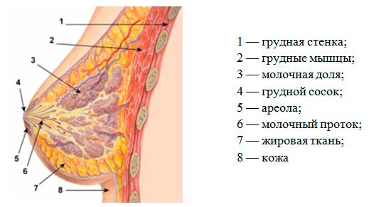 Женская грудь сбольшим ориолом фото 163-824