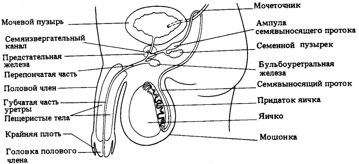 Половой член и яички строение