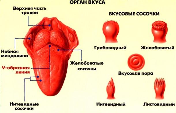 Анатомо физиологических особенностей обоняния и вкуса