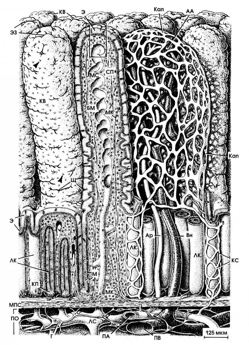 Кишечные ворсинки: строение, функции, кровоснабжение. Кишечные железы