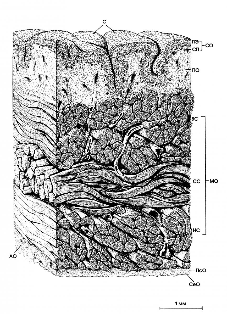 Строение мочевого пузыря: анатомия и гистология, расположение органа
