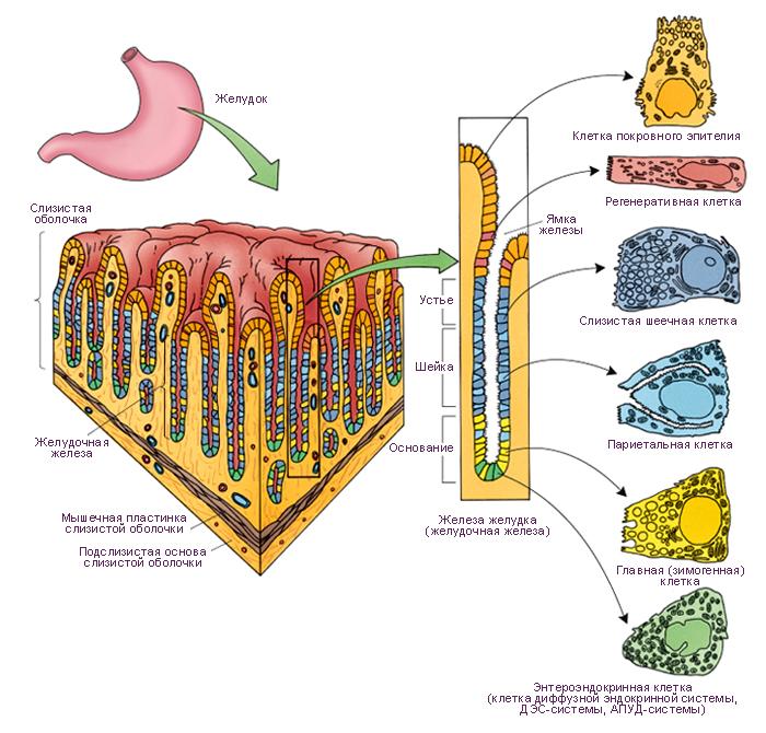 слизистые клетки, призматические клетки, париетальные клетки