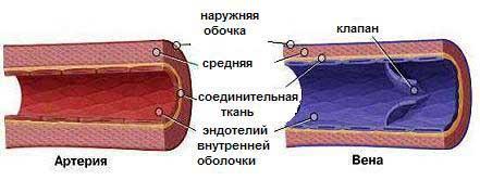 Что такое вены в биологии