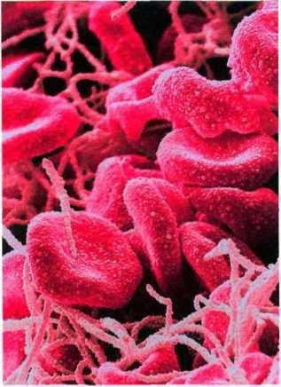 Эритроциты под микроскопом