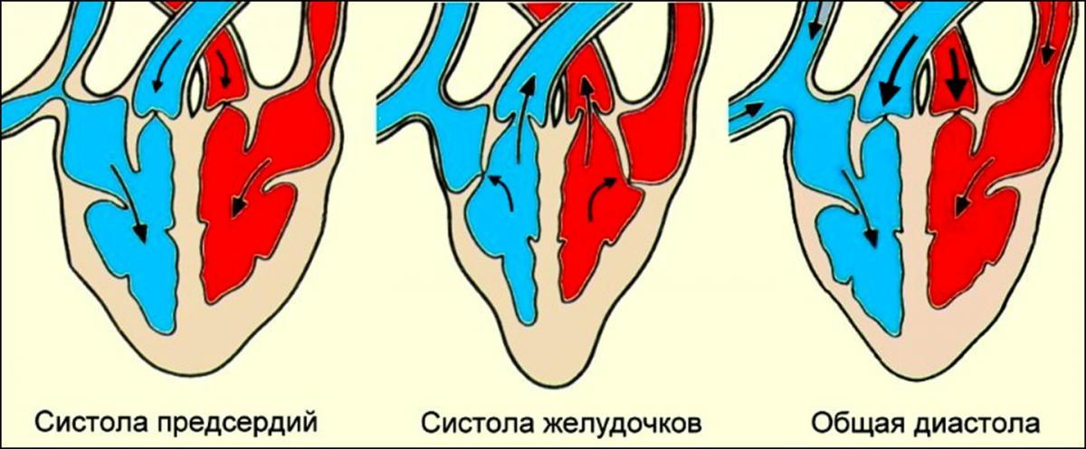 Фазы сердечного цикла: систола предсердий и желудочков, общая диастолическая пауза