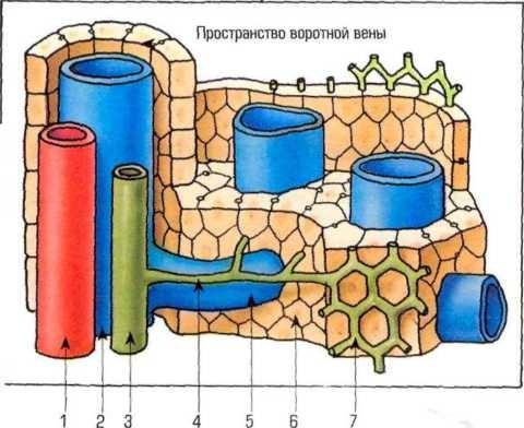 Гепатоциты