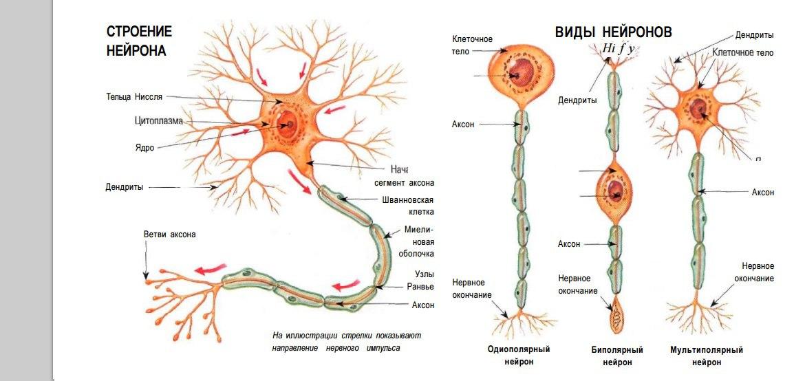 русской картинка нейрона с обозначениями живописных