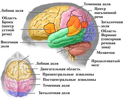 области мозга человека