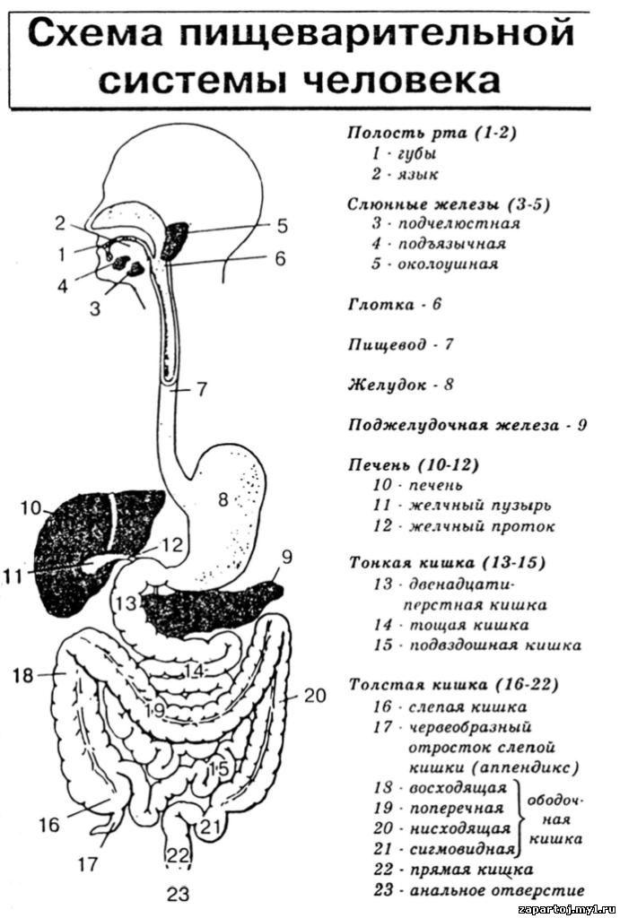 пищеварительная система картинки с описанием