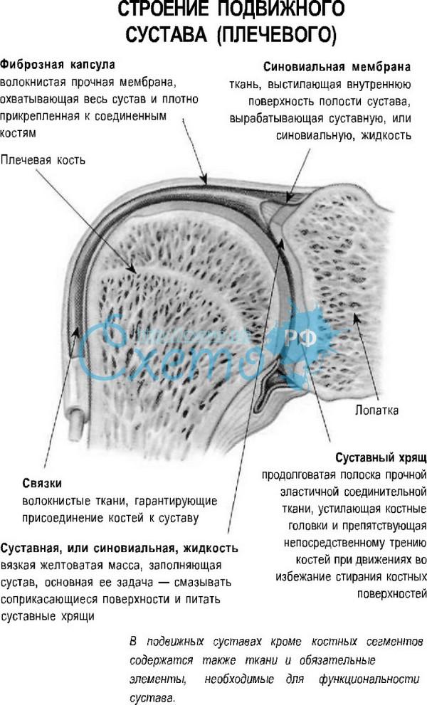 Изображение - Суставы и их типы plechevoisustav