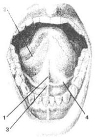 Нижняя поверхность языка
