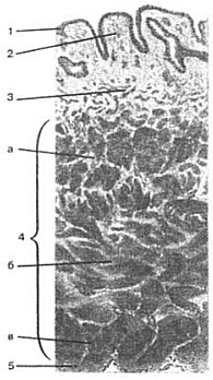 Строение стенки мочевого пузыря