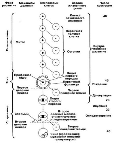 Схема овогенеза